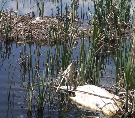 Trumpeter Swan Shot at Nest near Ashton, Idaho