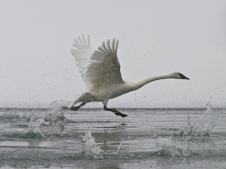 Mike Dunn - Trumpeter Swan Takeoff in Yellowstone