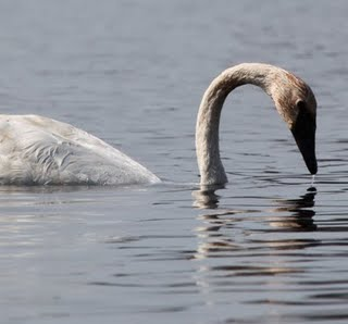 The Elegance of a Trumpeter Swan...