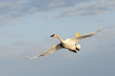 Trumpeter Swan on the Wing by Matthew Fells