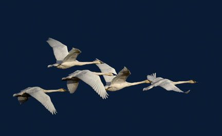 HAL EVERETT swans in flight